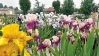 BloomingIrises-2