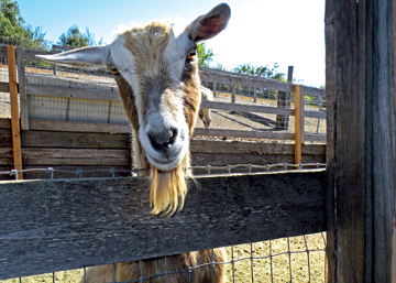 Toggenburg_goat_at_Windmill_Farms-3