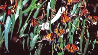 monarch_butterflies_on_eucalyptus_at_pismo_1
