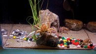 Decorator_Crabs_Aquarium