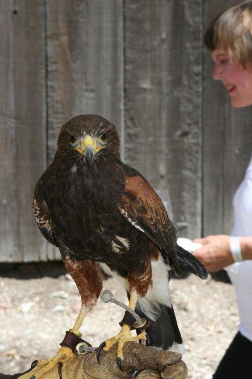 Earth_Day_food_wine_festival_hawk_bird_of_prey_vineyard