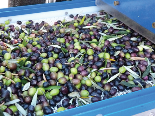 In addition to olive oil, Olea Farm olives are used  for products such as lotions and soaps and the owners  encourage the use of olive products in every aspect of daily lives.