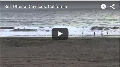 Sea Otters Visiting Cayucos And Morro Bay San Luis