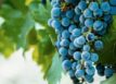 wine grapes on vineyard