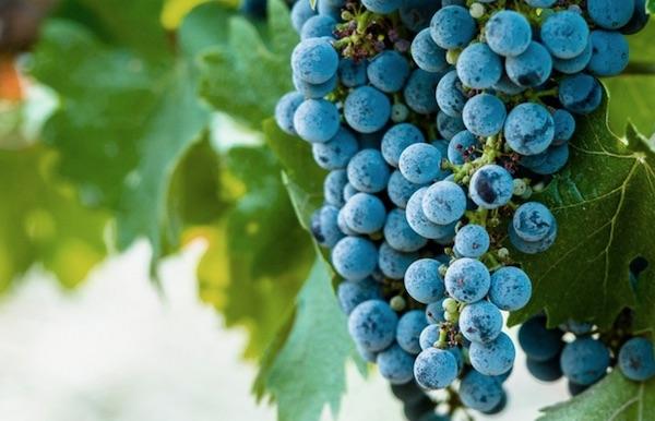 wine grapes on vineyard