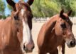 Redwings-Horse-Sanctuary-moving-to-Paso-Robles