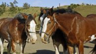 Covell Ranch Clydesdales