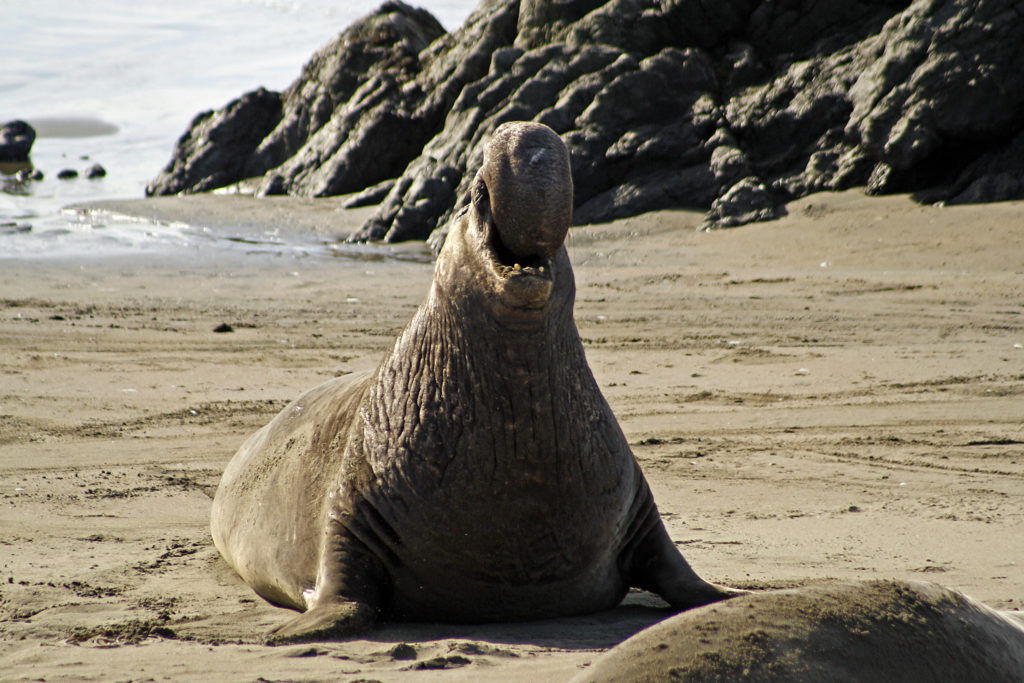 Elephant Seals Cambria